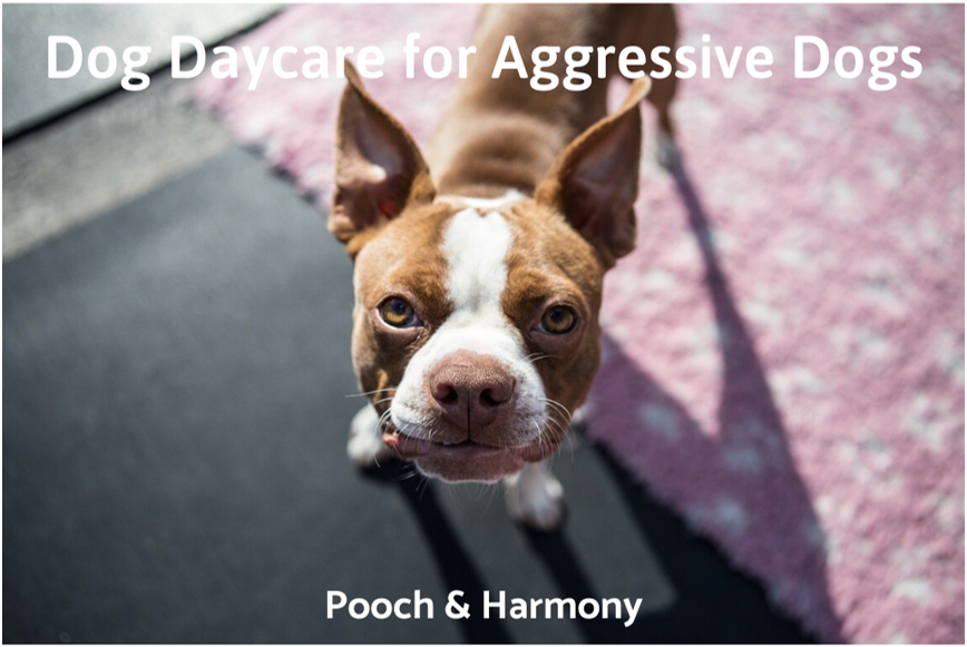 dog daycare for aggressive dogs