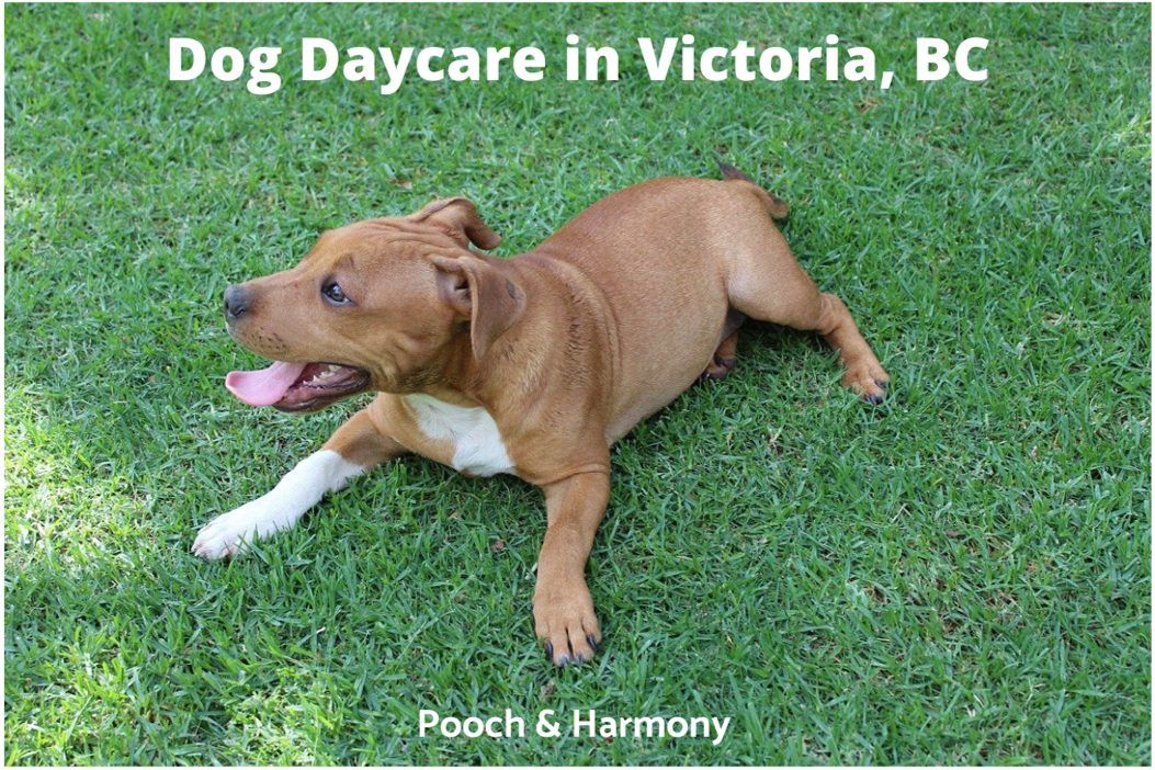 Dog Daycare in Victoria, BC