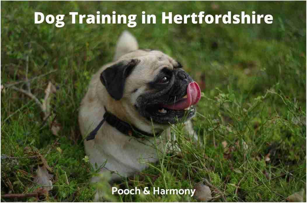 Dog Training in Hertfordshire