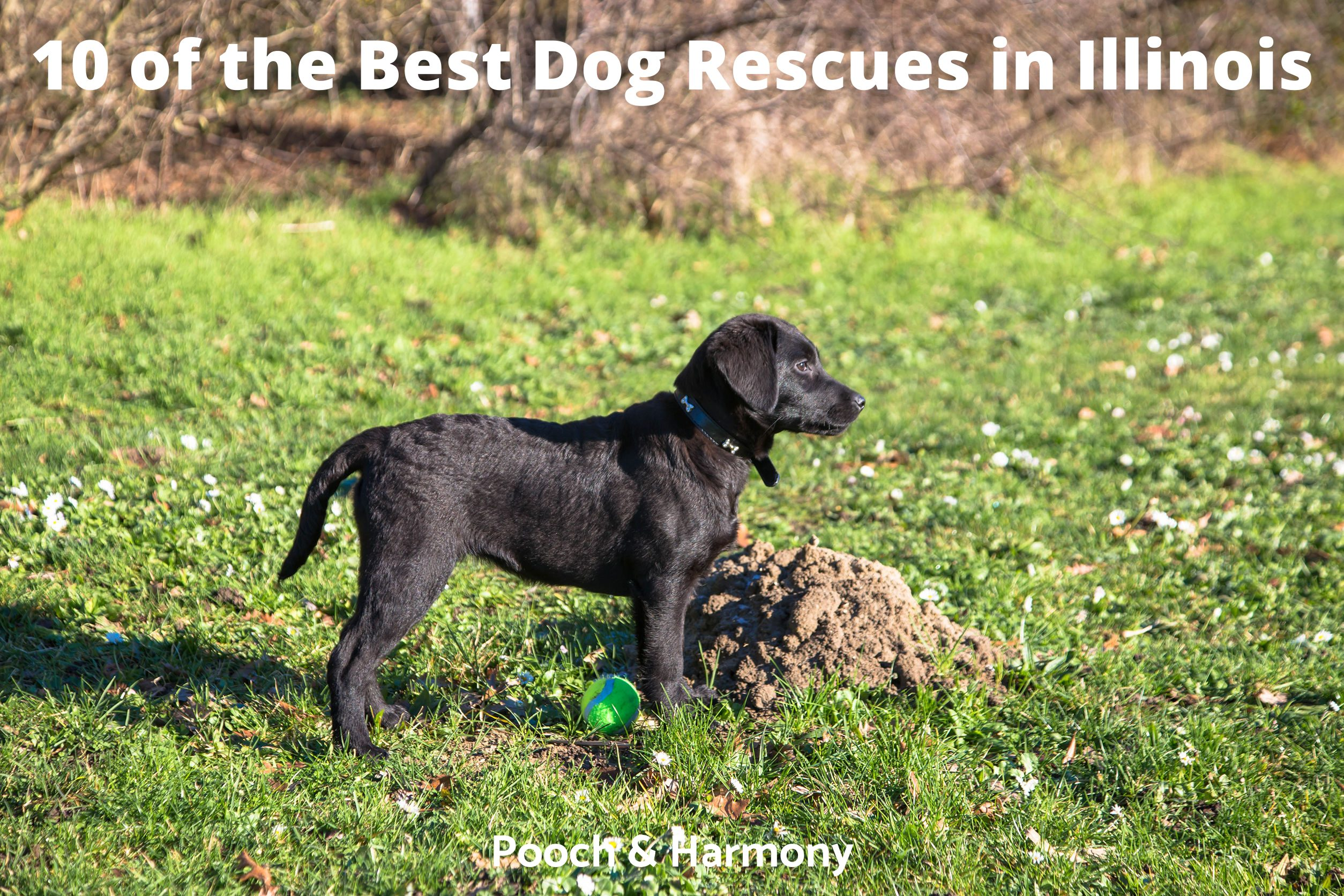 Best Dog Rescues in Illinois
