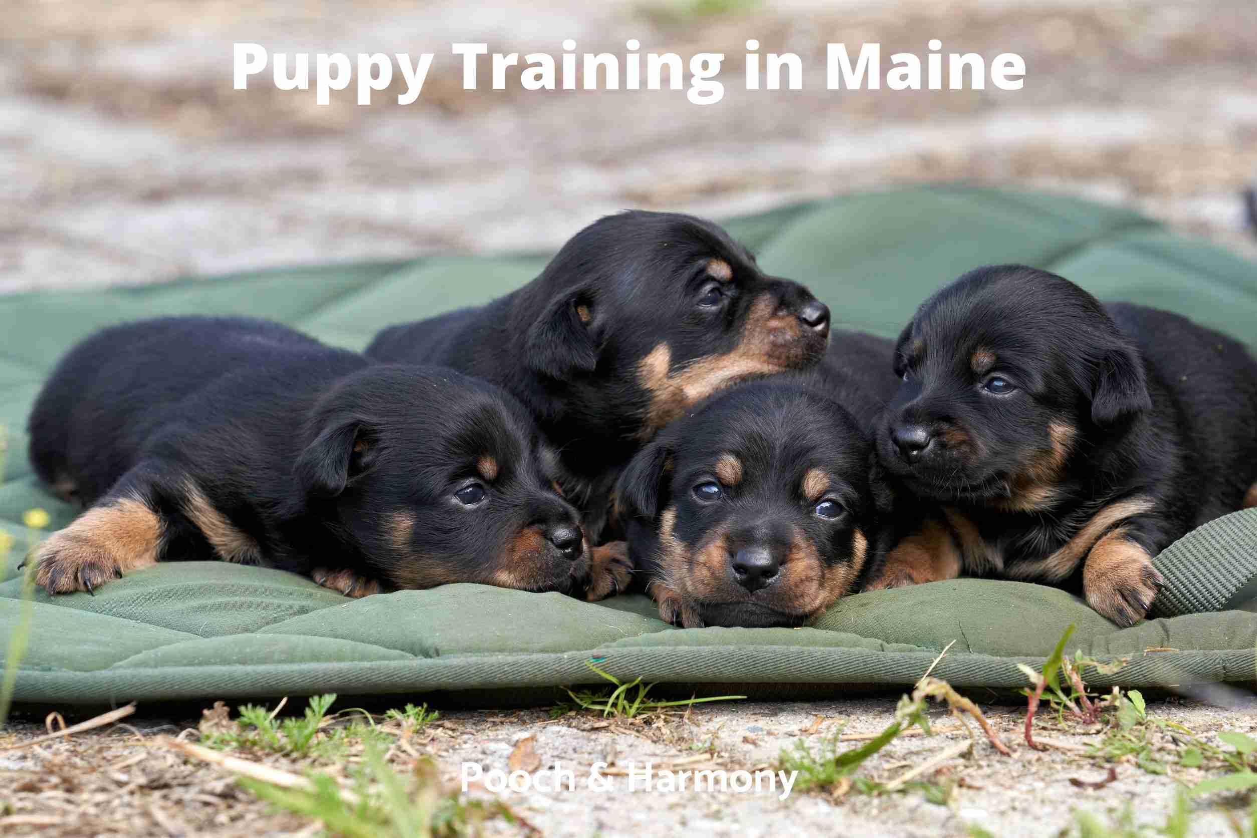 Puppy Training in Maine